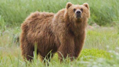 Photo of «Άνθρωπος και αρκούδα, στρατηγική για μια αρμονική συνύπαρξη»