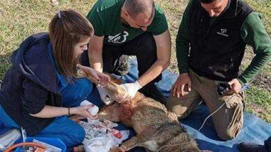 Photo of Λύκαινα κρεμάστηκε σε καγκελόπορτα – Διάσωση από τον Αρκτούρο