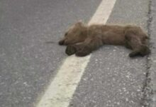 Photo of Νεκρό αρκουδάκι εντοπίστηκε στο ύψος της τοποθεσίας «Κλειδί» Αμυνταίου ( της παλιάς επαρχιακής οδού Αμυνταίου-Φλώρινας )