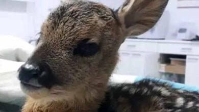 Photo of Τραυματισμένο νεογέννητο ζαρκάδι με σπασμένο πόδι, ο μικρός ''Θωμάς'' αναρρώνει στον Αρκτούρο