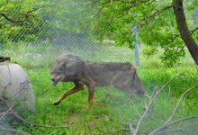 Photo of Η Ελισάβετ η λύκαινα που είχε βρεθεί καρφωμένη σε καγκελόπορτα δυστυχώς δεν τα κατάφερε